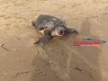 tartaruga-morta-gaeta