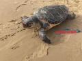 tartaruga-morta-gaeta2