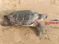 tartaruga-morta-gaeta3