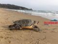 tartaruga-morta-gaeta4