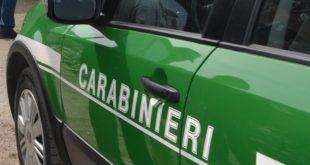Formia, cattura illegale di cardellini: Denunciato un 57enne