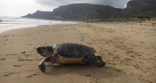 Gaeta, trovata tartaruga morta sulla spiaggia di S.Agostino: E' la seconda di oggi