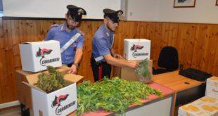 Operazione anti droga, ingente sequestro di marijuana. 42 enne arrestato